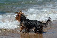 A small dog at a beach, all we royalty free stock photo