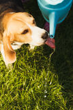Small dog Beagle drinks water Stock Images