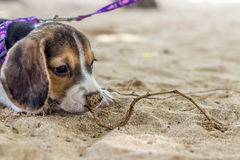 Small dog, beagle puppy playing on beach of tropical island Bali, Indonesia. Royalty Free Stock Photo