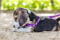 Small dog, beagle puppy playing on beach of tropical island Bali, Indonesia. Stock Photography