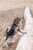 Small dog, beagle puppy playing on the Sanur beach of tropical island Bali, Indonesia. Stock Photos
