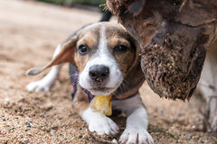 Small dog, beagle puppy playing on the Sanur beach of tropical island Bali, Indonesia. Stock Photography