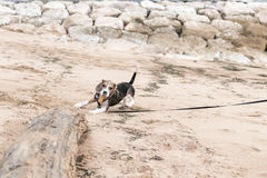 Small dog, beagle puppy playing on the Sanur beach of tropical island Bali, Indonesia. Royalty Free Stock Image