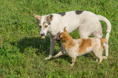 Small dog begging big dog to give that tasty bone Royalty Free Stock Photography