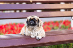 Small dog on a bench Royalty Free Stock Photos