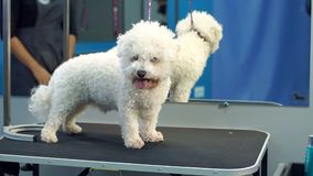 A small dog Bichon Frise stands on a table in a veterinary clinic. Portrait of a small dog in the hospital on the table before examination. Vet concept stock video