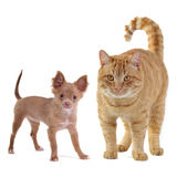 Small dog and big cat. Isolated on white background Royalty Free Stock Photography