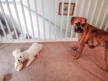 Small dog and a big dog Royalty Free Stock Photography