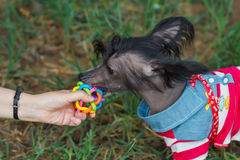 Small dog in blue suit with toy and hand. Small dog taking a toy from a hand royalty free stock photos