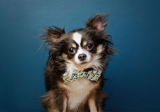 Small Dog in Bow Tie. Professional business headshot of a small dog Royalty Free Stock Photos