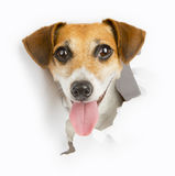 Small dog breaks through the banner. Smiling dog looking out from a hole in a paper poster advertising banner. White place for your text Royalty Free Stock Image