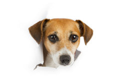 Small dog breaks through the banner. Smiling dog looking out from a hole in a paper poster advertising banner. White place for your text Stock Photo