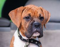 Small dog breed boxer puppy portrait Royalty Free Stock Images