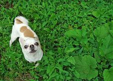 A small dog breed Chihuahua.  royalty free stock photography