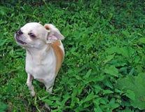 A small dog breed Chihuahua.  royalty free stock photo