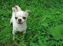 A small dog breed Chihuahua.  stock image