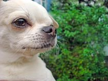 A small dog breed Chihuahua.  stock images