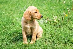Small dog breed cocker spaniel sits on green grass and looks aside_. Small dog breed cocker spaniel sits on green grass and looks aside royalty free stock photography