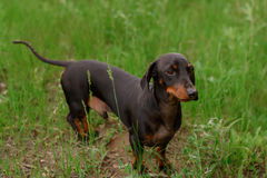 Small dog breed dachshund. Of dark color Stock Photo