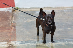 Small dog breed. Of dark color miniature Royalty Free Stock Photography