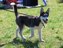 A small dog of the breed Husky Royalty Free Stock Photo