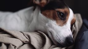 Small dog breed the Jack Russell Terrier lays on his place. Small dog breed the Jack Russell Terrier lays onlays on his place and falls asleep, slowly closes stock footage
