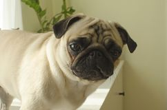 Small dog breed pug looking at you.  Royalty Free Stock Photography
