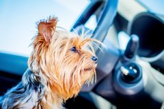 A small dog of breed Yorkshire Terrier in the car waits for the. Owner during a trip royalty free stock photography