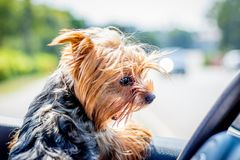 Small dog breed Yorkshire Terrier at the wheel of a car_. Small dog breed Yorkshire Terrier at the wheel of a car stock photography
