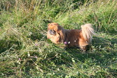 Small dog breeds Pekingese walks in the thick and tall grass. Stock Photography