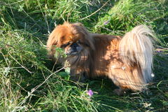 Small dog breeds Pekingese walks in the thick and tall grass. Royalty Free Stock Image