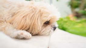 Small dog breeds shih tzu brown fur. stock photo