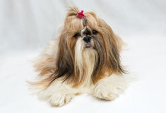 Small dog breeds Shih Tzu. On white background royalty free stock photos