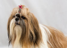 Small dog breeds Shih Tzu. On white background stock photo