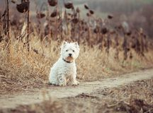 Small dog breeds White Terrier Royalty Free Stock Images