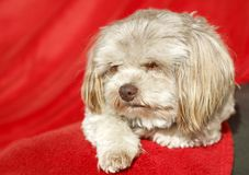 Small dog with brown nose. Russian Bolonka Tsvetnaya, also known as the Bolonka Zwetna in Germany, is a lovely toy breed of the Bichon Frise type royalty free stock photos