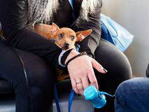 Small dog in bus Stock Image