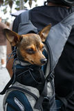 Small Dog In Carrying Bag Stock Photography