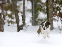 Small dog caught in action Stock Photography
