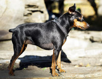 small  dog with chain around his neck is standing on the stone fence Royalty Free Stock Photos