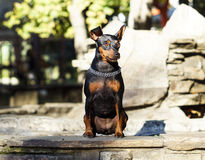 Small  dog with chain around his neck is standing on the stone fence Royalty Free Stock Photography