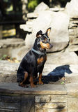 Small  dog with chain around his neck is standing on the stone fence Royalty Free Stock Photo
