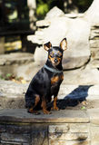 Small  dog with chain around his neck is standing on the stone fence Royalty Free Stock Image