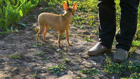 A small dog Chihuahua breed is afraid to shoot on camera. The hostess keeps the dog on a leash, so that she does not run away. T. He dog is trembling in front of stock video