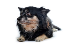 Small dog Chihuahua. Isolated on white background Stock Photo
