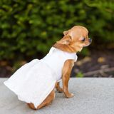 Small dog chihuahua in white dress sitting near the trees in the park. Royalty Free Stock Photography