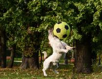Small dog clashes with big ball. Dog jumping to catch football ball Royalty Free Stock Image