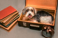 A small dog collects a suitcase home. Myself has already put. There was a pile of books and an alarm clock stock image