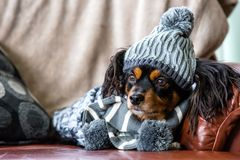 Small dog on a couch with winter gear on stock photo