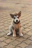 Small dog. Cute puppy of Alaskan Malamute royalty free stock photography